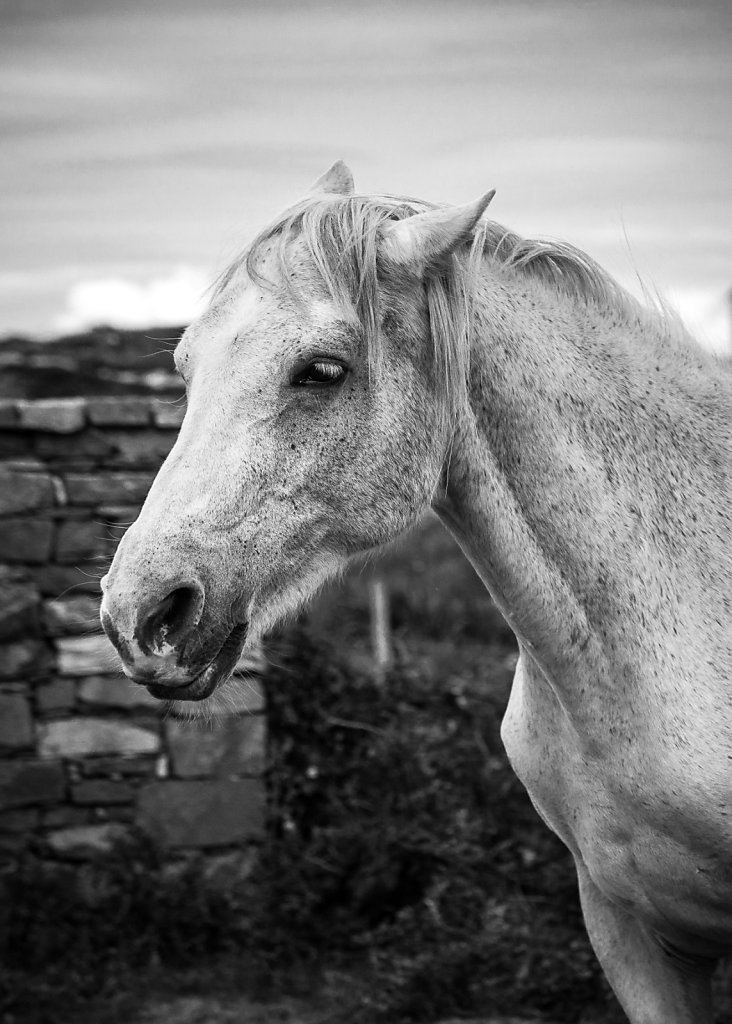 Connemara Pony - County Galway